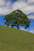 Oak Tree and Hill Profile