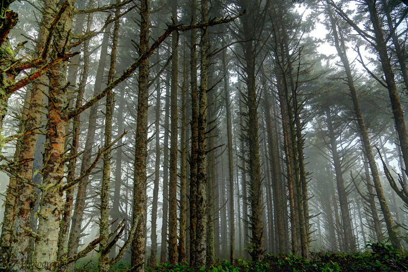 Fog rolling through the trees Cape Mears Oregon.