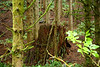 Large tree stump in the Tillamook Forrest south of Cannon Beach Oregon.