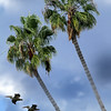 Palms and Pelicans