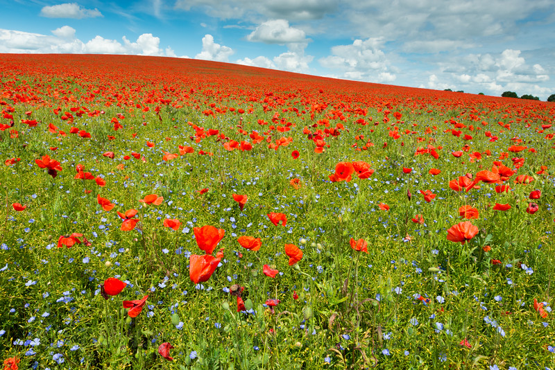 UK Weather: Poppies in flower, Royston UK
