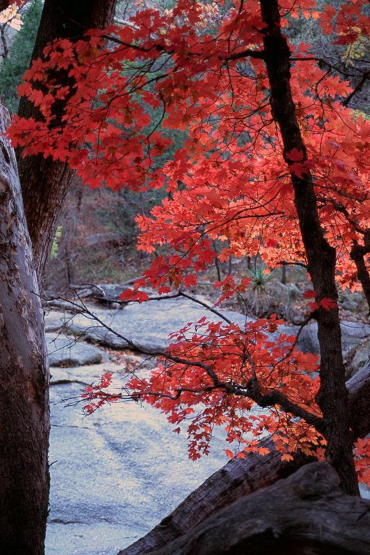 """Autumn Maple""<br /> Arizona, The Nature Conservancy's Ramsey Canyon Preserve"