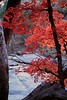 """Autumn Maple""<br /> Arizona, The Nature Conservancy's Ramsey Canyon Preserve"