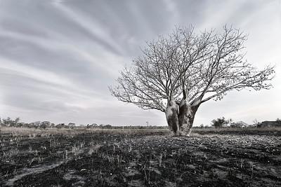 Silver Boab - WA, Australia
