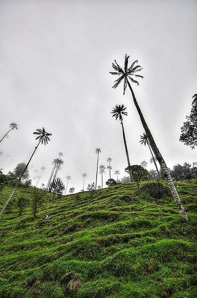 Wax Palm Trees