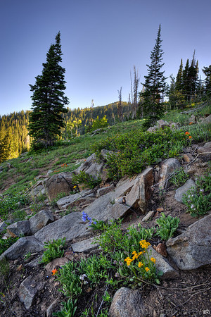 July Wildflowers at Guardsman Pass