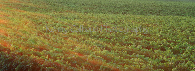 Sunrays On The Vineyard
