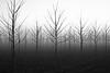 trees-fog-3