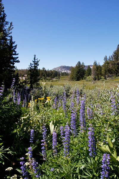 Wild flowers, Lake Tahoe, Nevada