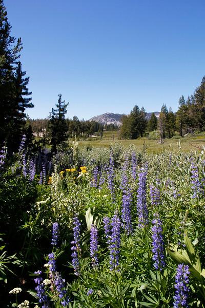 Wild flowers, Lake Tahoe, Nevada