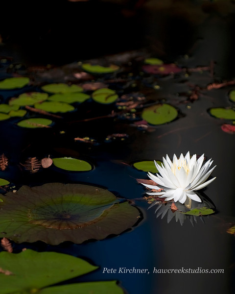 blackwater lilly