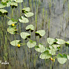 Lillies on a Pond<br /> Lillies on a pond wtih the reflection of the clouds by Seward Highway, Alaska