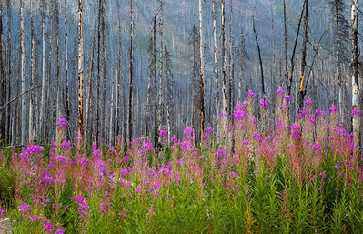 Fireweed in a wildfire burnt area of Kootenay National Park, right behind the Marble Canyon campground - August 2012.