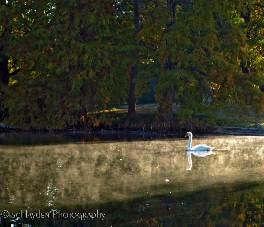 swan copy