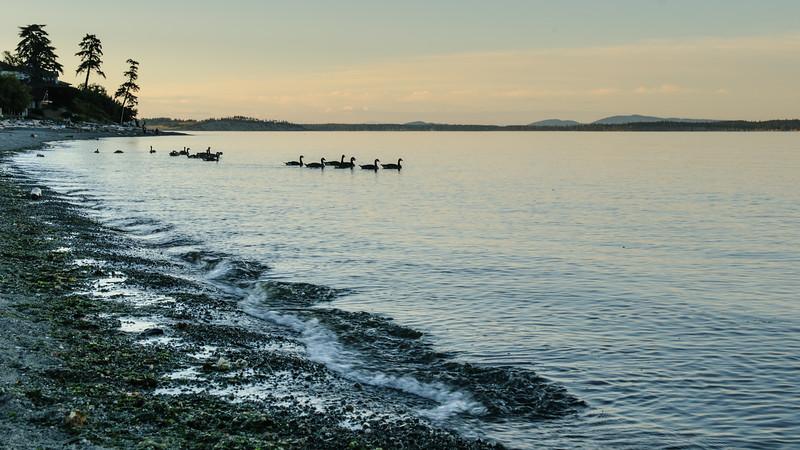 Canada Geese at Cordova Bay