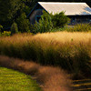 A planting of ornamental grasses.