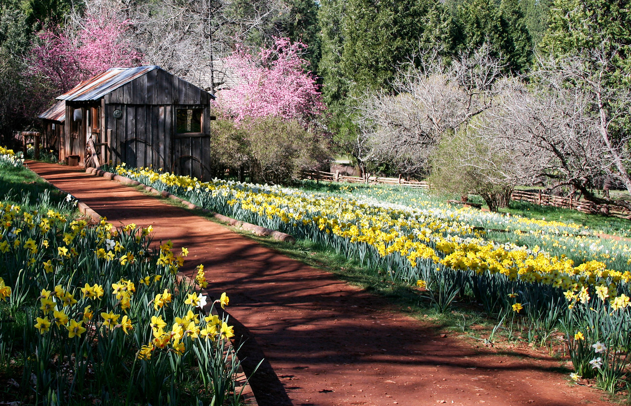 Daffodil Hill, California