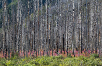 Fireweed in a wildfire burnt area of Kootenay National Park - August 2012.  In 2003, about 12% of the park was consumed by a 170 square km (65 sq. mi.) wildfire.  This is part of the natural recovery cycle.