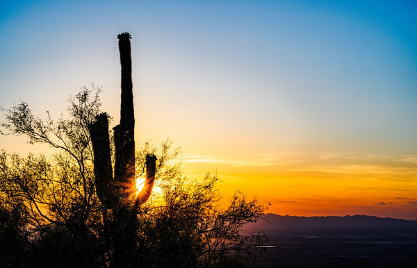 Saguaro in Bloom at Sunset