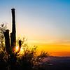 Saguaro in Bloom at Sunset