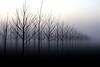 trees-fog-1