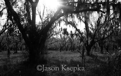 Pecan Plantation at sunrise; Georgia