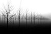 trees-fog-2
