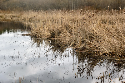 Rithet's Bog Cattails