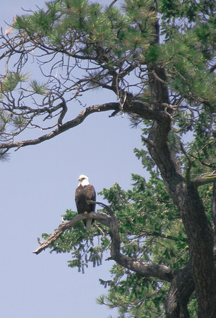 Bald Eagle on Kootenay Lake, July 2007
