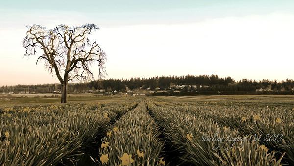 Central Saanich, Mt Newton Rd, daffodil field
