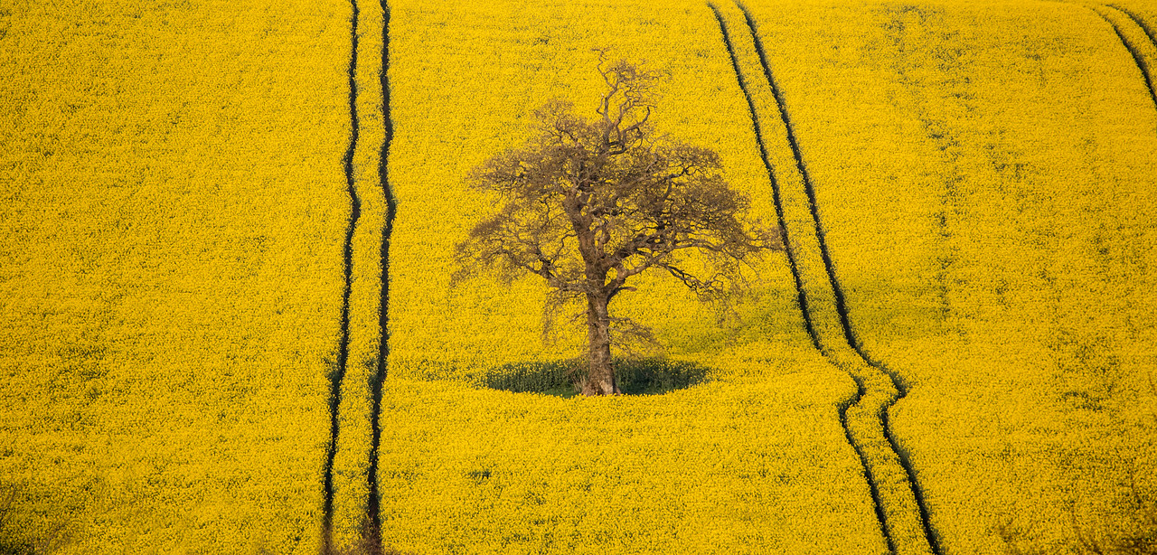 Yellow Field  105/365
