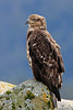 Immature Bald Eagle on Rock - Ketchikan, Alaska