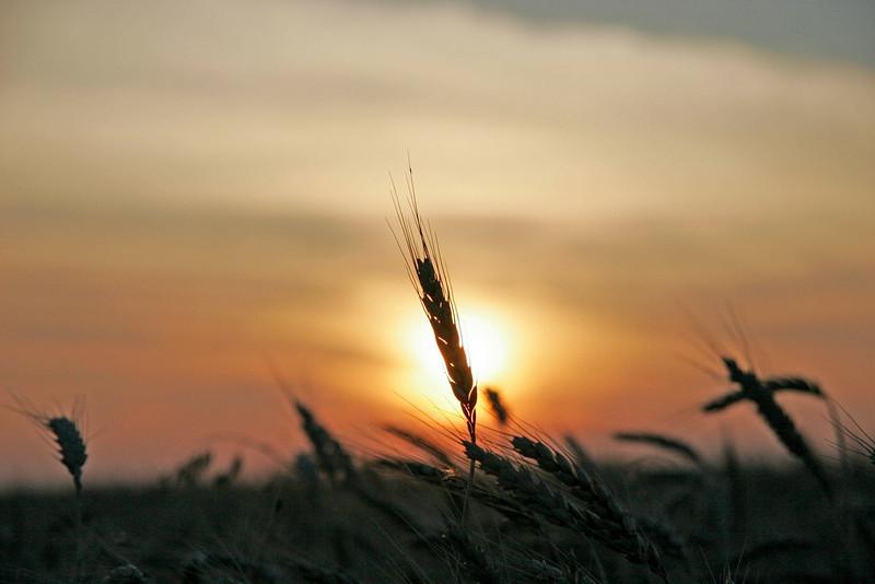 wheat6