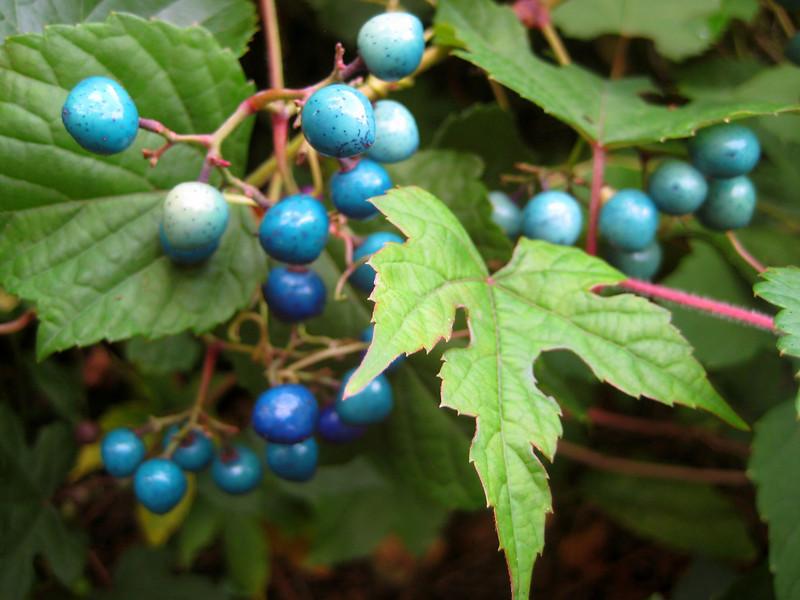 China Berries