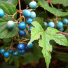 China Berries
