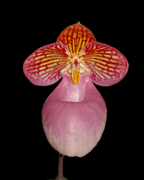 Silver Slipper Orchid or Hard-leaved Pocket Orchid.<br /> Native to southern China