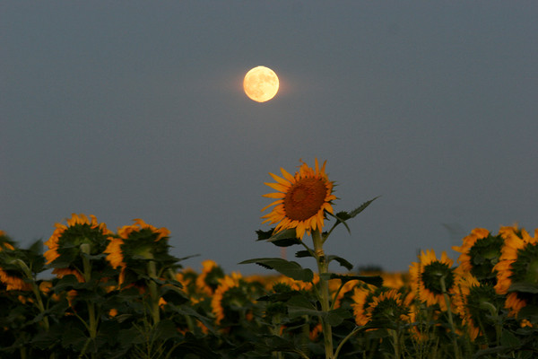 Moon Shine Sunflowers