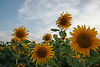 Perfict Day Sunflowers