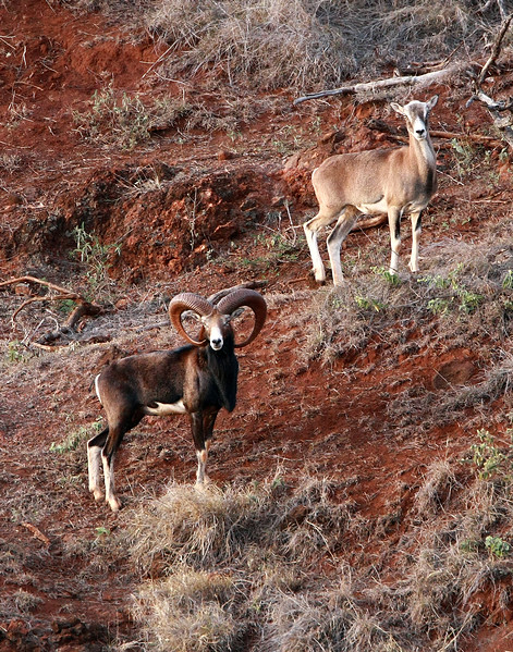"This is the largest Mouflon I've ever seen on the island of Lana'i, Hawaii.   Full curl and almost solid black ""saddle""."