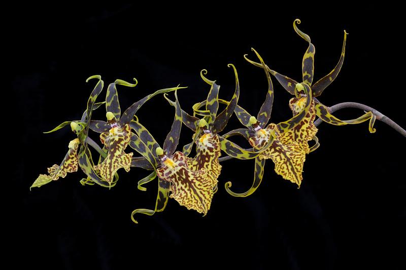 Tiger Orchids on Black