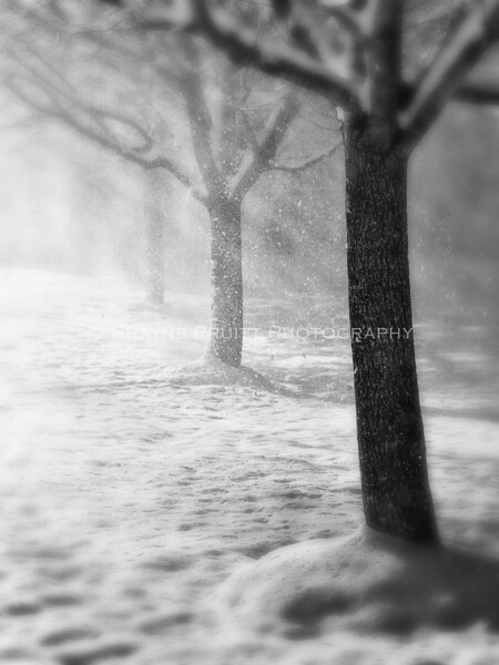 Bradford Pear Trees During a Snow Storm