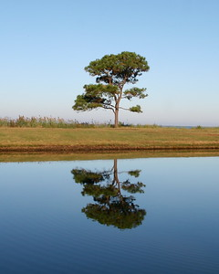 The same Lone Pine on the pond, Cherrystone Campground, Va.