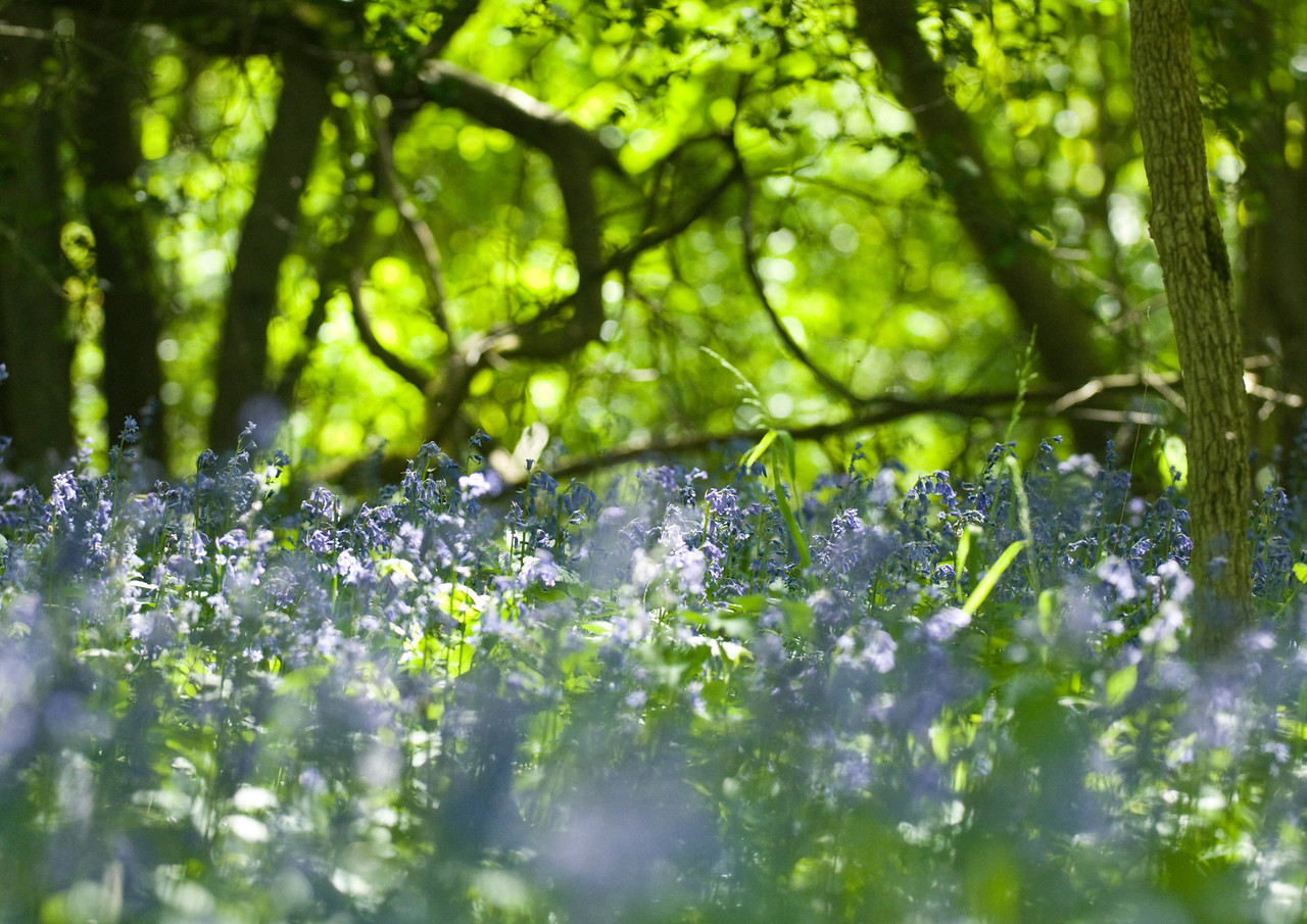 Bluebells, in Short Wood, Southwick, Northants, England