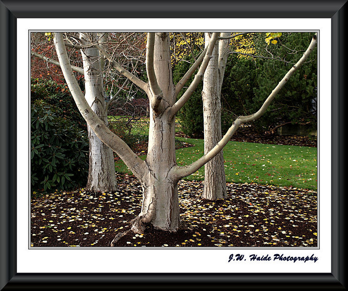 Birch Trio along 2nd Avenue in front of the Washington County Courthouse in Downtown Hillsboro, Oregon