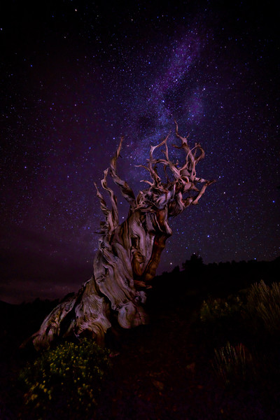 Bristlecone in the dark
