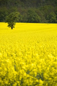 Yellow Field Crespieres 17th April 2011