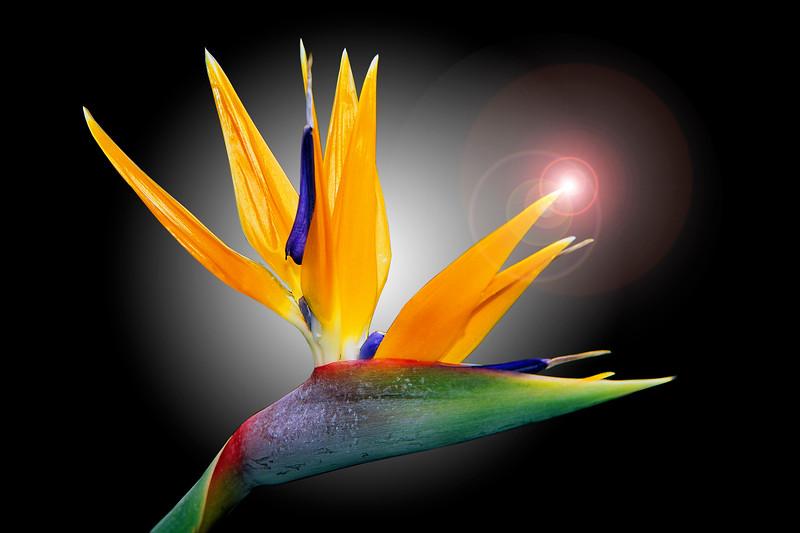 Bird of Paradise Flare