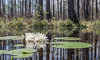 Water Lilies in the Okefenokee