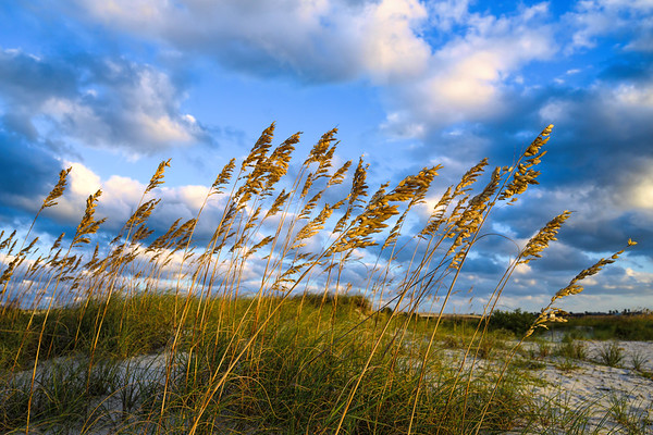Sea Oats in the Evening Sun