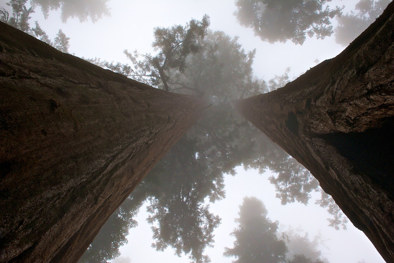 Twins in the Fog, Sequoia National Park, California